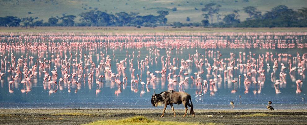 ngorongoro_gnu_tanzania
