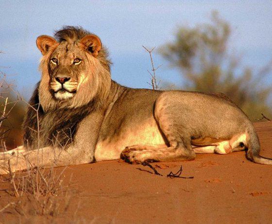 leone del kalahari