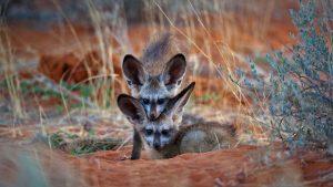 una coppia di bat eared foxes (otocioni) nel Kgalagadi Transfrontier Park, tra sudafrica e botswana