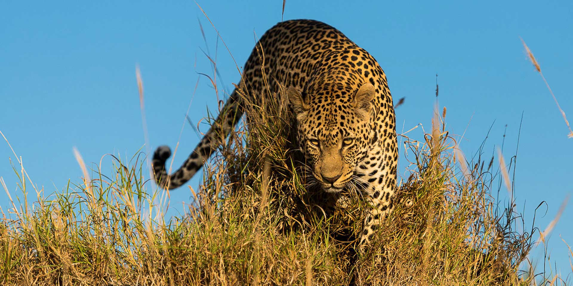 un leopardo in sudafrica