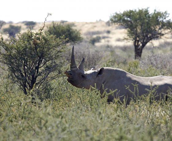 un rinocertonte nero nella savana della concessione di Palmwag in namibia