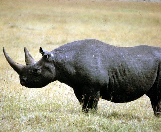 rinoceronte_nero