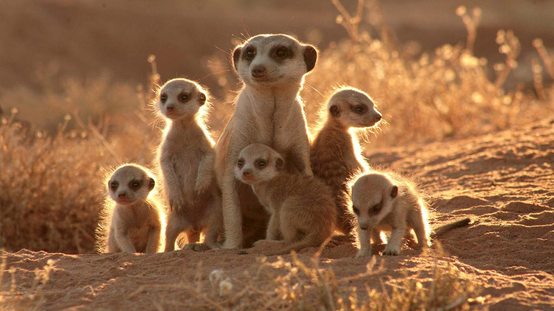 una famiglia di suricate nel deserto del kalahari