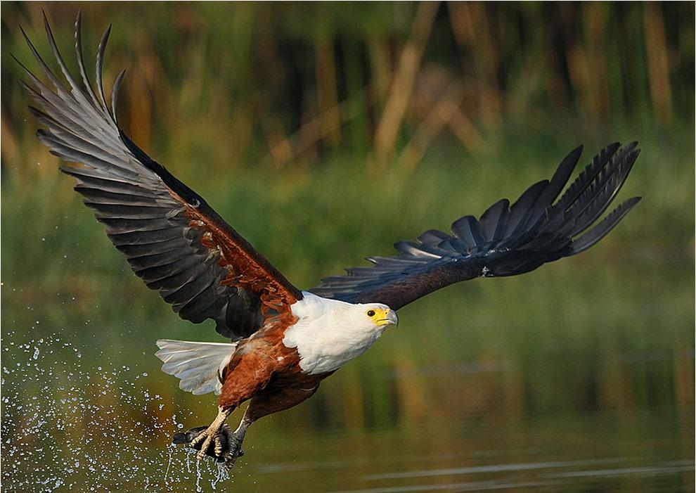 african-fish-eagle nel delta dell'okavango