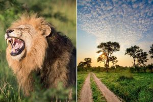 un leone e una pista nella savana della manyeleti game reserve in sudafrica