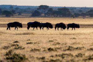 una mandria di gnu al tramonto nella savana della Central Kalahari Game Reserve