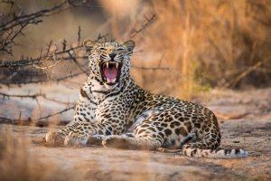 lo sbadiglio di leopardo durante un safari nel kruger