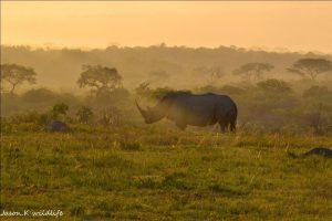 rinoceronte bianco nella hluhluwe-imfolozi game reserve in sudafrica