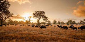 una mandria di bufali al tramonto a sabi sands