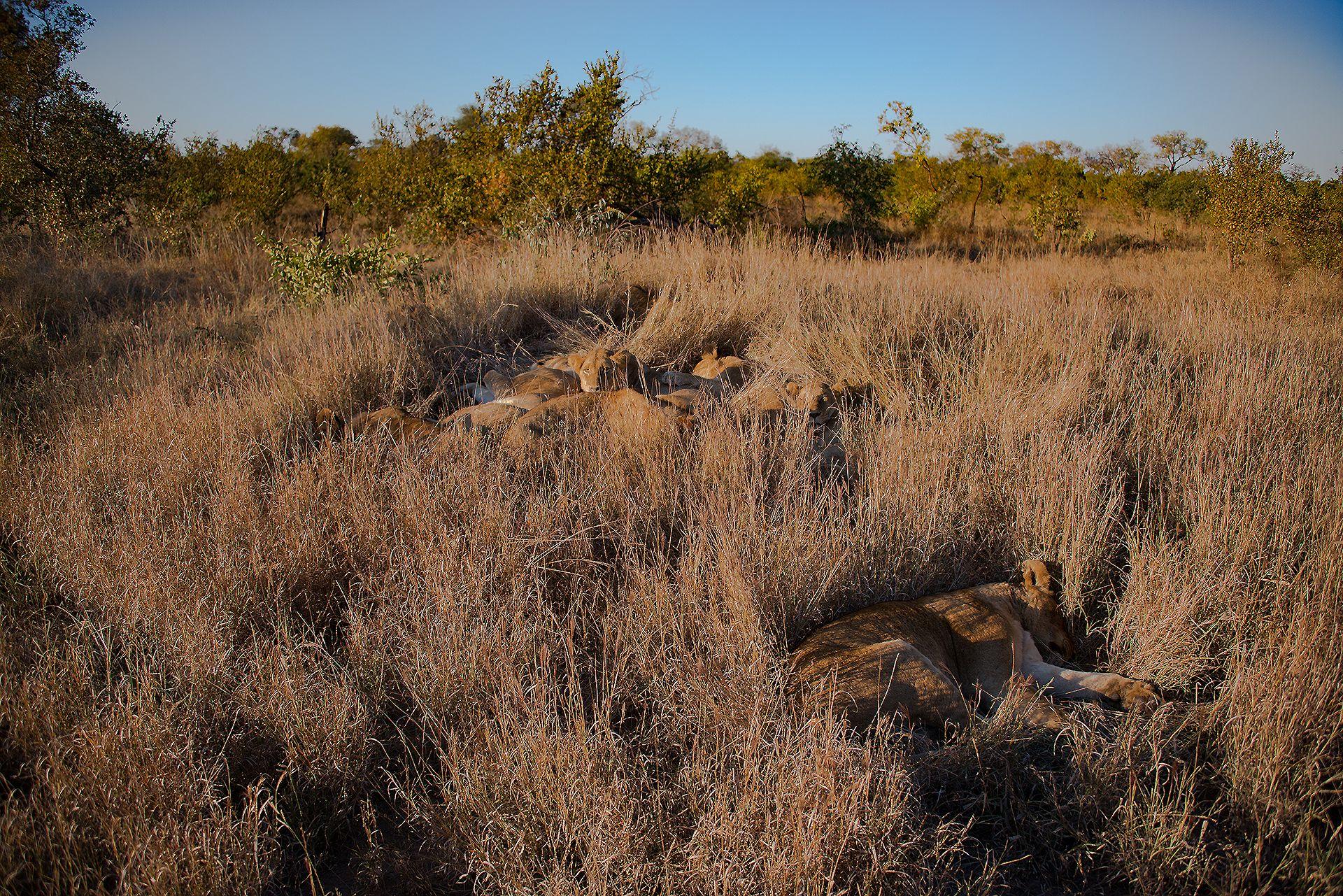 un branco di leoni nascosti nella savana di Manyeleti, la riserva privata più selvaggia del kruger