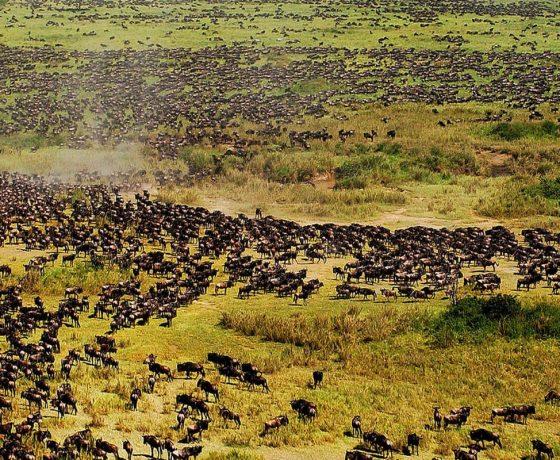 migliaia di gnu nelle piane del serengeti, durante la grande migrazione