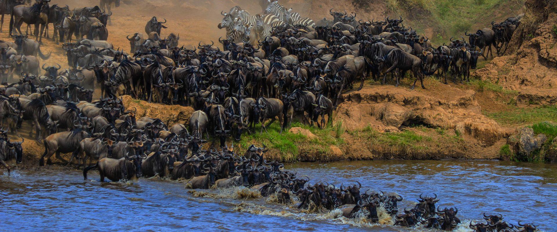 guado di gnu nel serengeti (tanzania) durante la grande migrazione
