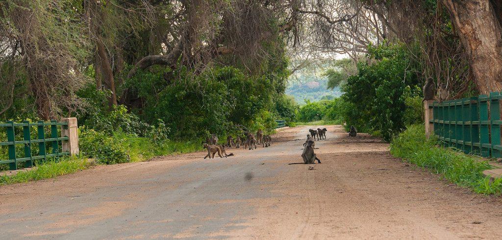 Babbuini sul ponte all'ingresso della Makuleke Concession, nell'estremo nord del Kruger.