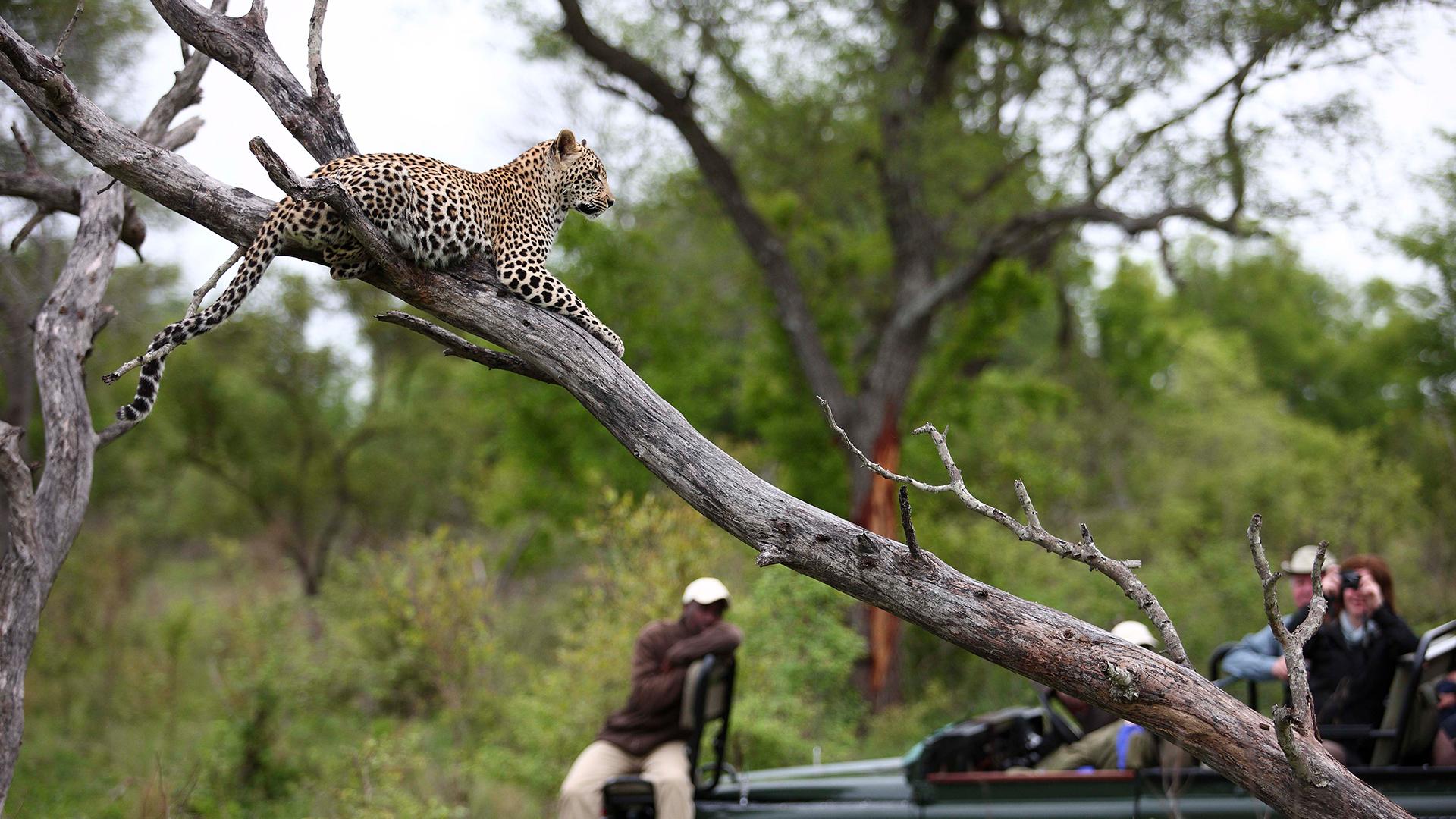 sabi_sands_leopard_safari