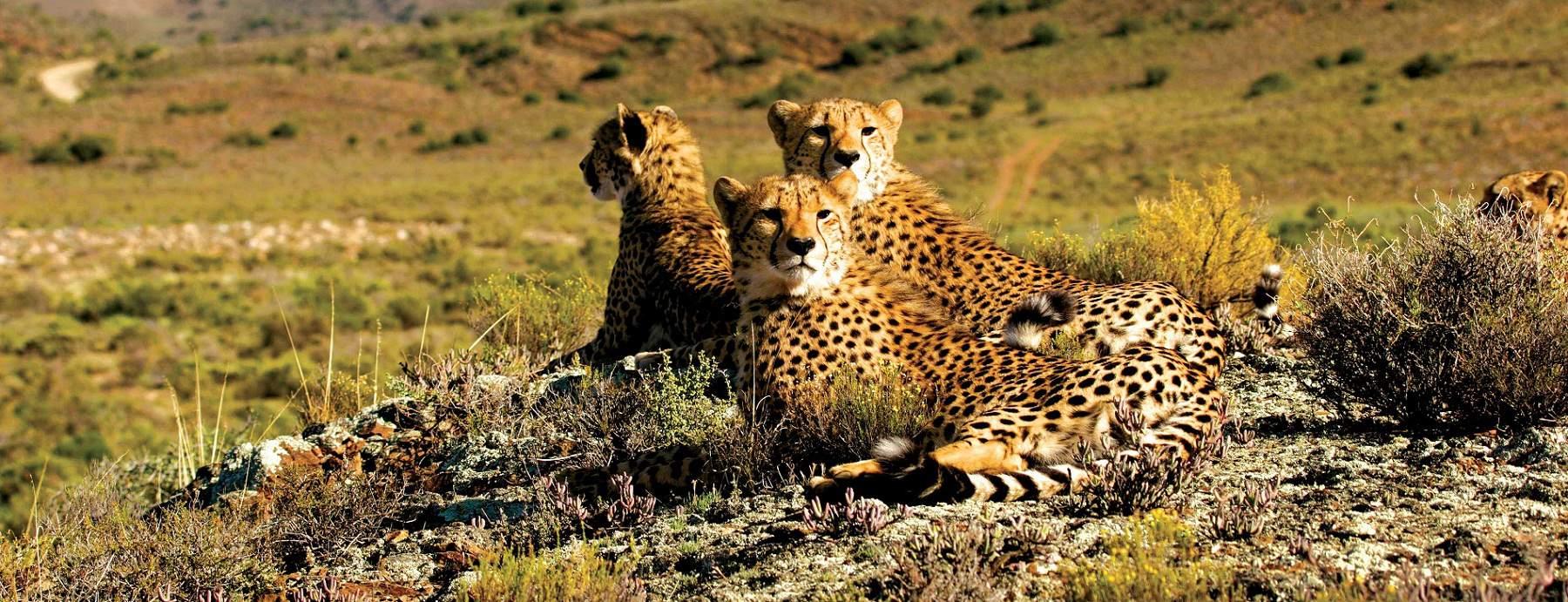 cheetah_sanbona