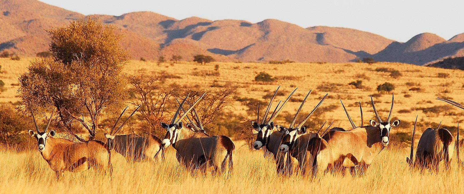 tswalu_oryx