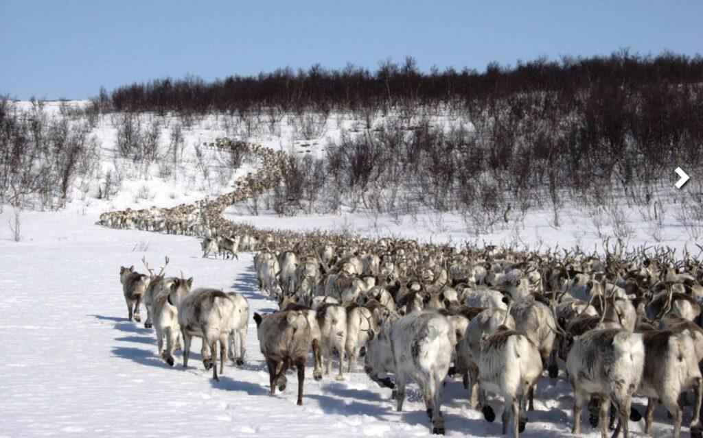 renne lapponia norvegese