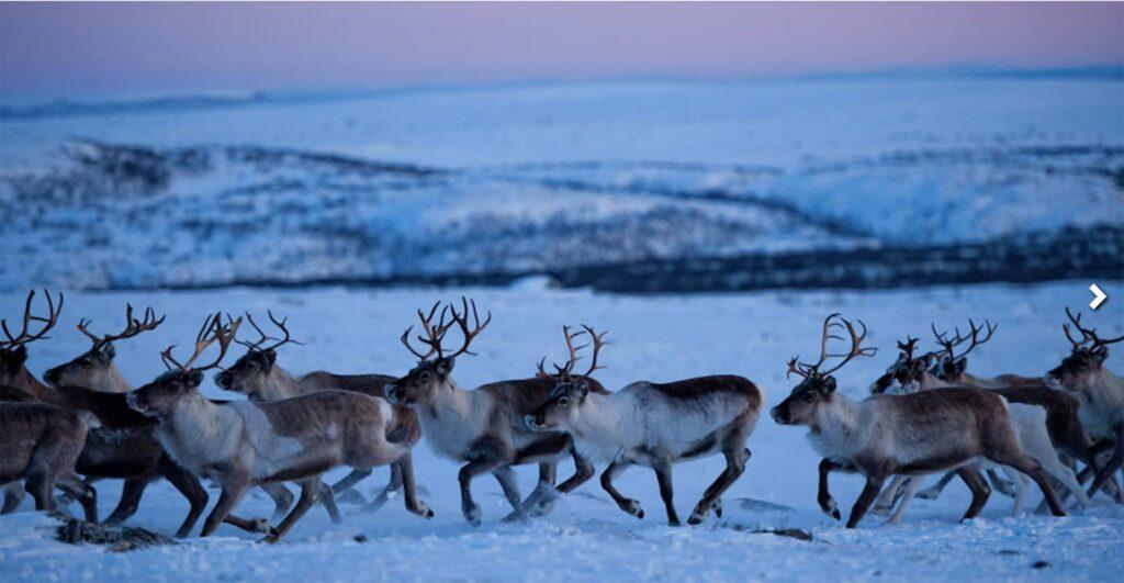renne lapponia norvegese sami
