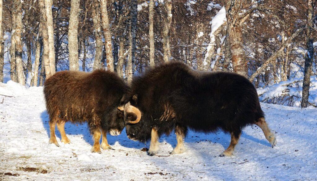 Combattimento bue muschiati al Polar Park