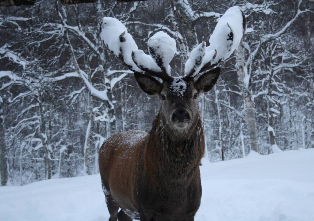 Renna con le corna innevate al Polar Park