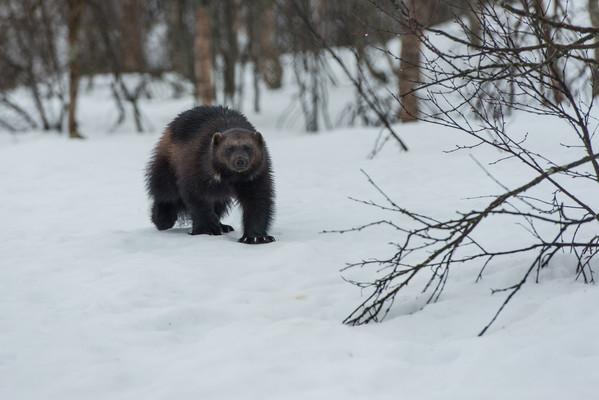 Ghiottone che si avvicina nella neve al Polar Park
