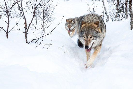 Lupi lungo un sentiero innevato al Polar Park