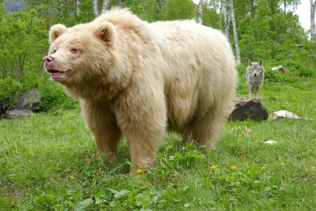 Orso e lupo al Polar Park
