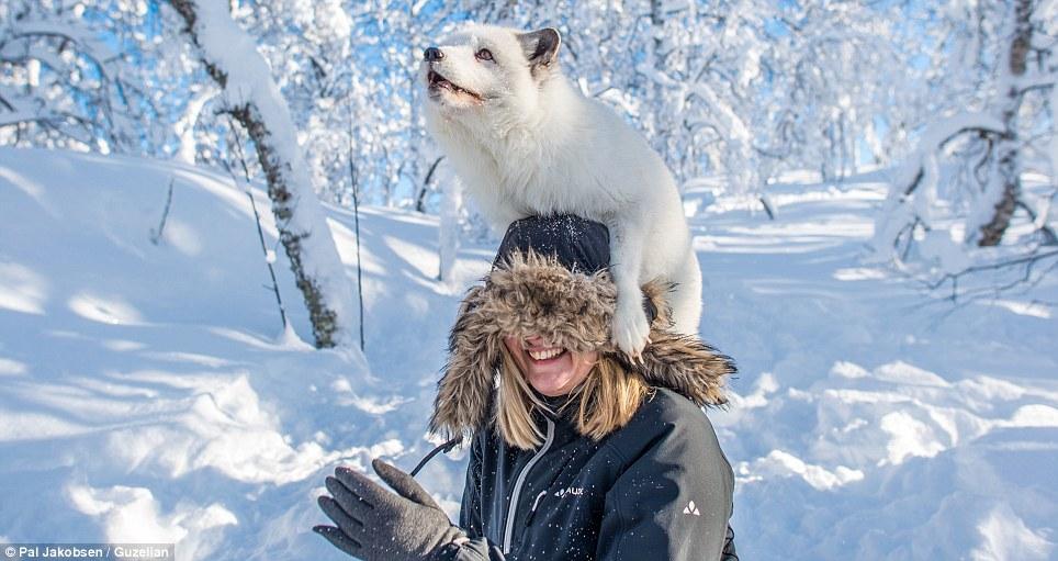 Volpe artica salta sulle spalle di una turista al Polar Park
